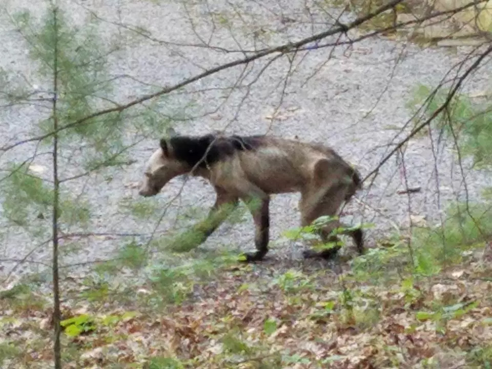 black bear mange sightings a reminder not to feed wildlife